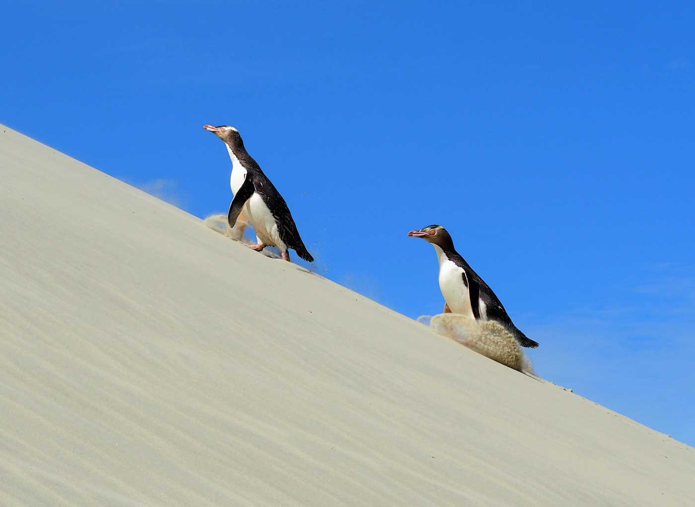Yellow-eyed penguins hiking on the sand dune in Dunedin.