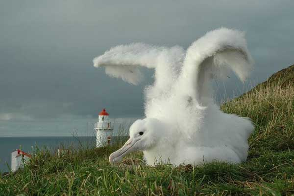 Royal Albatros chick