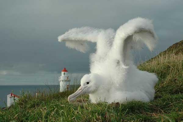 Royal Albatros chick