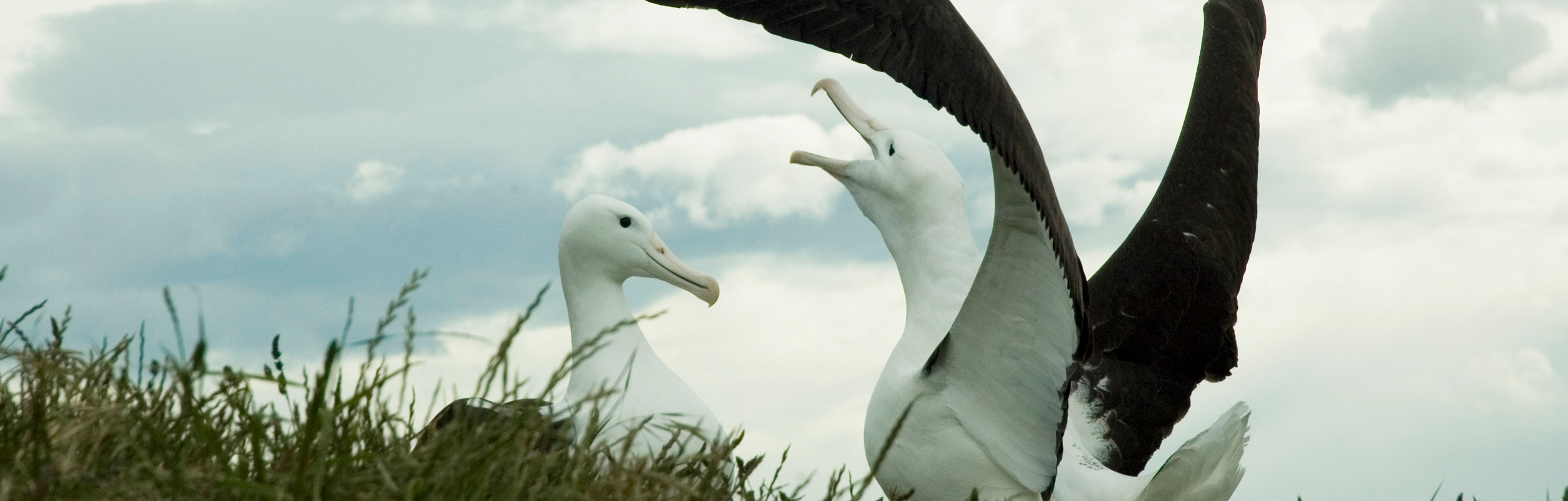 Royal Albatross