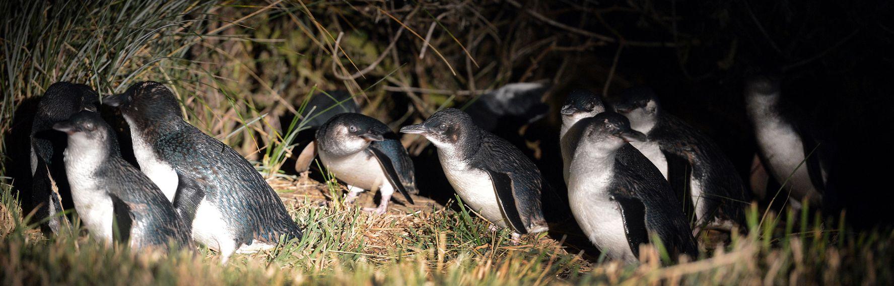Little Blue Penguins at the Royal Albatross Collony