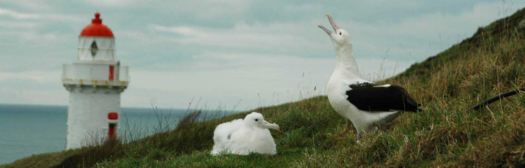 Two albatross at Taiaroa Head